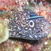 Spotted moray with buddy