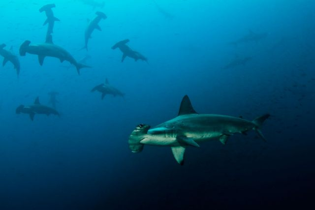 Hammerhead school Humboldt Explorer Galapagos Explorer Ventures Liveaboard Diving