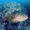 Grouper 3