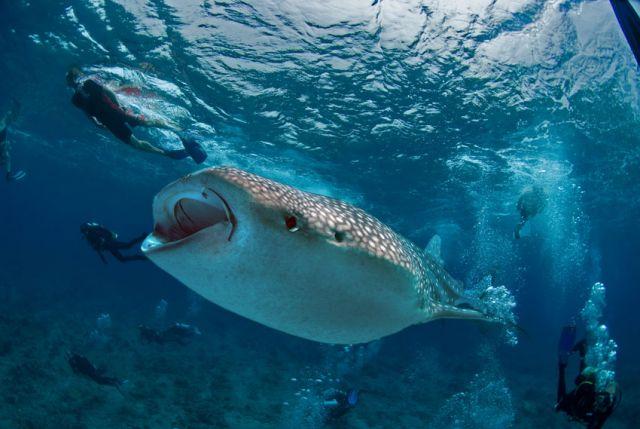 Whaleshark feeding Divers Carpe Vita Explorer Maldives Explorer Ventures Liveaboard Diving