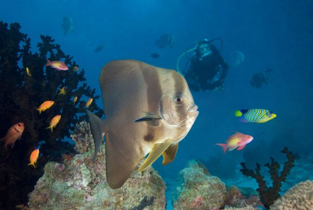 Batfish Diver Carpe Vita Explorer Maldives Explorer Ventures Liveaboard Diving