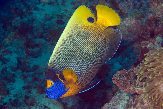 Blueface Angelfish Carpe Vita Explorer Maldives Explorer Ventures Liveaboard Diving