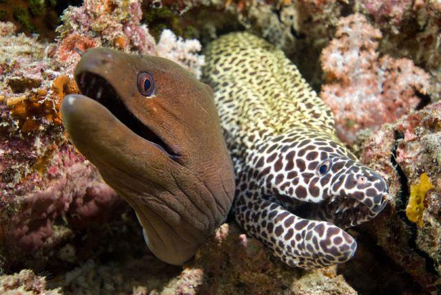 Two Moray Eels Carpe Vita Explorer Maldives Explorer Ventures Liveaboard Diving