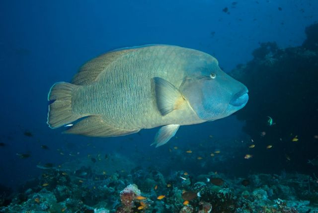 Humphead Wrasse Carpe Vita Explorer Maldives Explorer Ventures Liveaboard Diving