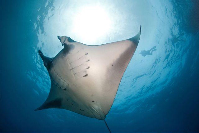 Manta Ray Underside Sunlight Carpe Vita Explorer Maldives Explorer Ventures Liveaboard Diving