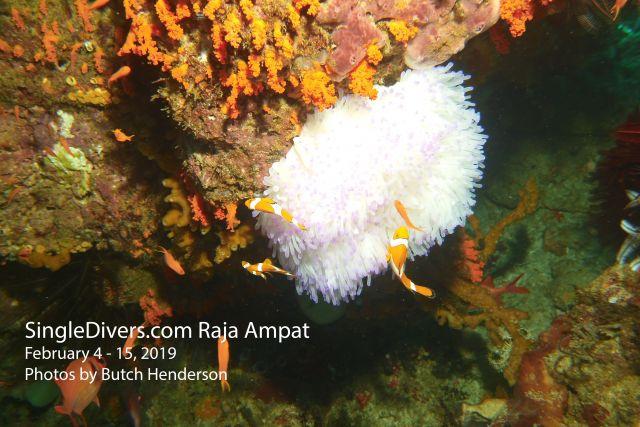Clownfish White Anemone