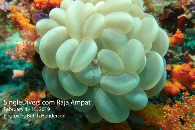 Shrimp Bubble Coral