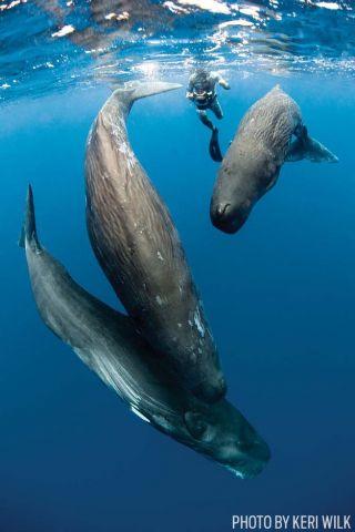 scuba diving sperm whales dominica