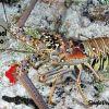 CZM GENERAL PIIC Lobster P9081336